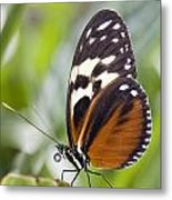 Tiger Longwing Butterfly Heliconius Metal Print