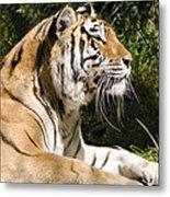 Tiger Observations Metal Print