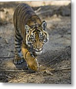 Tiger Panthera Tigris Cub, Native Metal Print