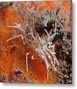 Tiger Shrimp On Orange Sponge, Bali Metal Print