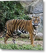 Tigers Glare Metal Print