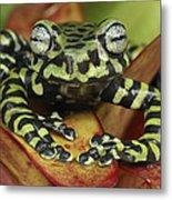 Tigers Treefrog Hyloscirtus Tigrinus Metal Print