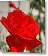 Timeless Red Beauty Metal Print