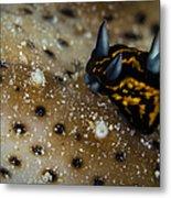 Tiny Nudibranch On Sea Cucumber Metal Print