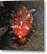 Tiny Red Yellow And White Cowrie Metal Print