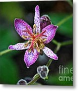 Toad Lily Metal Print