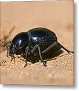 Tok-tokkie Beetle Metal Print