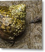 Top Shell Clanculus Sp Metal Print