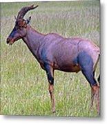 Topi Antelope Metal Print