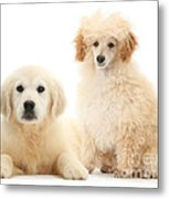 Toy Poodle And Golden Retriever Metal Print