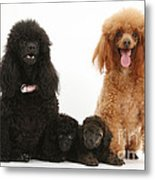Toy Poodle Family Metal Print