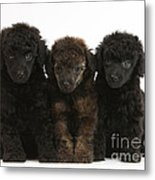 Toy Poodle Pups Metal Print