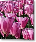 A Field Of Translucent Tulips Metal Print