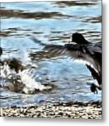 Travelin Coots Metal Print