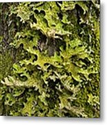 Tree Lungwort (lobaria Pulmonaria) Metal Print
