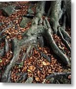 Tree Roots Of A Beech Tree Metal Print