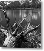 Tree Stump On The Shore Of Lewis Lake At Yellowstone Metal Print