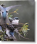 Tree Swallow - Standing Guard Metal Print