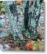 Tree Trio In Lichen At Hawn State Park Metal Print