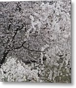 Trees Heavy With Cherry Blossoms Metal Print