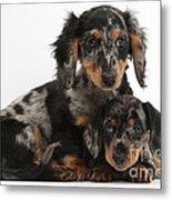 Tricolor Dachshund Puppies Metal Print