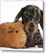 Tricolor Merle Dachshund Pup And Red Metal Print