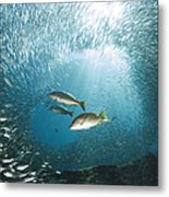 Trio Of Snappers Hunting For Bait Fish Metal Print