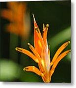 Tropical Orange Heliconia Flower Metal Print