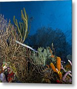 Trumpetfish, Belize Metal Print