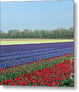 Tulip And Hyacinth Fields In Holland. Panorama Metal Print