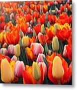 Tulip Sunset 2 Metal Print