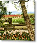 Tulip Time In The Skagit Valley Metal Print