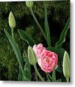 Tulips And Evergreen Metal Print