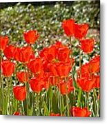 Tulips In The Field Metal Print
