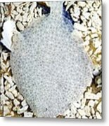 Turbot On The Seabed Metal Print