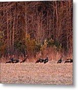 Turkey - Wild Turkey - Seventeen Longbeards Metal Print
