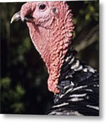 Turkey Cock Metal Print