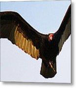 Turkey Vulture Evening Flight Metal Print
