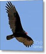 Turkey Vulture Metal Print