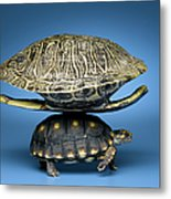 Turtle With Larger Shell On Back Metal Print
