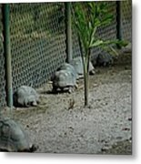 Turtle's Natural Call Metal Print