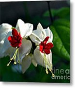 Twin Bleeding Heart Vine Flowers Metal Print