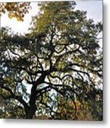 Twisted Oak Metal Print