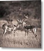 Two Antelopes Together In A Field Metal Print
