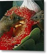 Two Australian Honey Possums Feed Metal Print