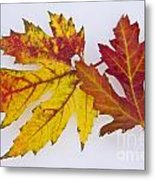 Two Autumn Maple Leaves  Metal Print