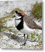 Two-banded Plover Charadrius Metal Print