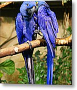 Two Blue Parrots Metal Print