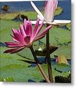 Two Graceful Water Lilies Metal Print by Sabrina L Ryan