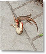 Two Lizards Are Fighting Metal Print